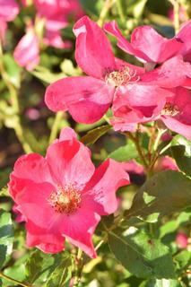 138の赤いバラ