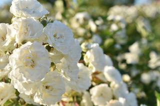 138の白いバラ