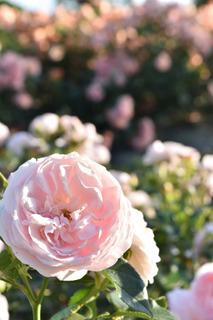 138のピンクのバラ