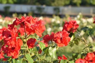 たくさんの赤バラ
