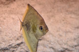 小型淡水魚2