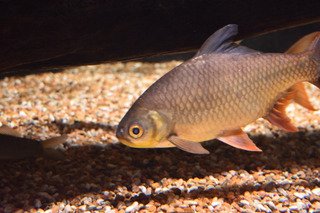 小型淡水魚4
