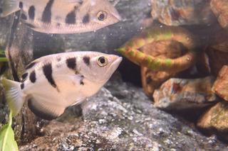 小型淡水魚1