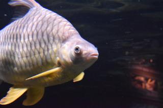 大型淡水魚1