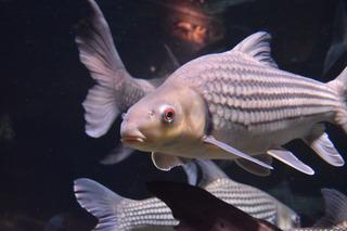 大型淡水魚2