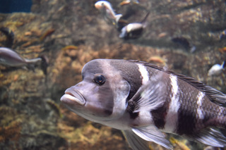 縞模様の魚