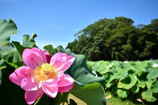 森川花はす田のはす