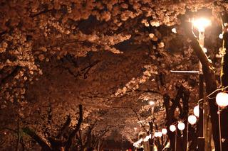 清州城の夜桜