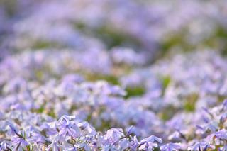 紫色の芝桜