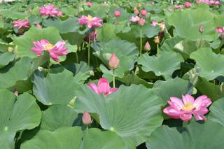森川花はす田の蓮