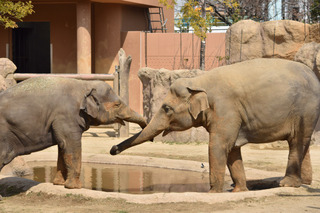 2頭の象1.jpg