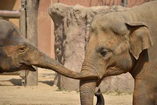2頭の象2.jpg