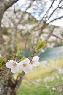 板取川の桜2