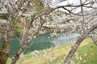 板取川の桜1