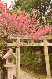 花桃と鳥居