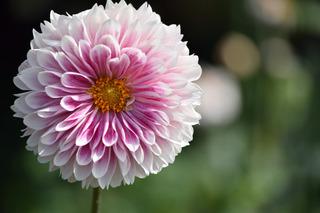 ピンク色のダリア